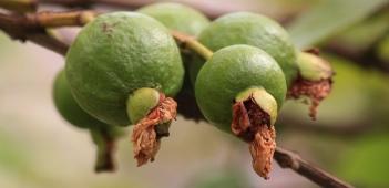 guava-144145_1280